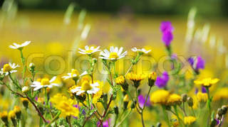 Wild flowers in the field of Portugal