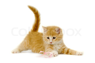 Cat kitten playing on pink bow