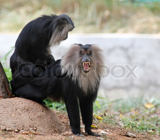 Endangered and threatened endemic monkey of india - lion-tailed macaqueIts also known as wanderoo, bartaffe, beard ape and macaca silenus The ape here is roaring aggressively showing its sharp teeth