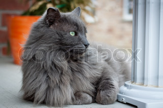 Nebelung cat lying on porch