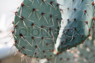 Close-up of a prickly pear cactus