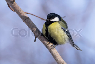 great tit on branch parus major