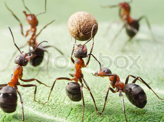 ants playing with ball of pepper seed