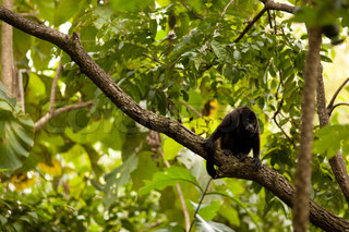 Brown / Black lonely monkey sitting on a branch in the jungle