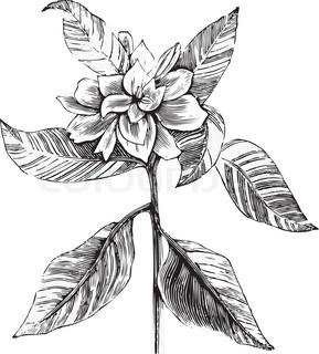 Vektor af 'kronblade, blomst, kronbladenes'