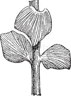 Sphenozamites latifolius, a Cycad, during the Jurassic Period, vintage engraving