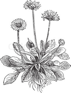 Common Daisy or Bellis perennis, showing flowers, vintage engraved illustration Dictionary of Words and Things - Larive and Fleury - 1895