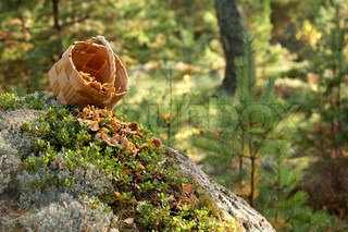 funnel chanterelles poured out of vintage basket over lingonberry shrub in the forest