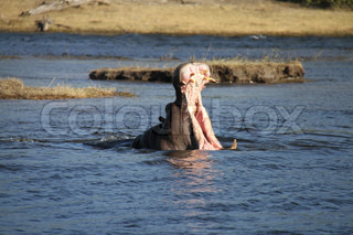 Hippo at Afrika africa