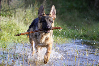 german shepherd with a stick in his beak running in watergerman shepherd with a tree branch in his mouth