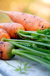 closeup of carrots freshly picked from garden with tops on