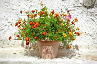Garden Flower Pot With Growing Tagetes French Marigolds