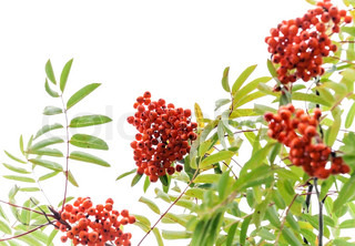 Branch of a rowan-tree with bright red berries isolated on white