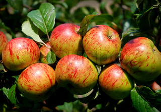 Yummy Golden Apples in a Tight Bunch on a Branch