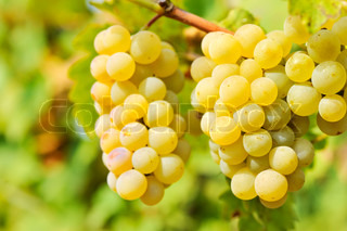 yellowgrapes in the vineyard