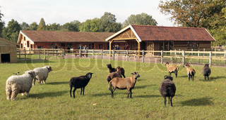 sheep and stables at a children's farm