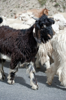 Black kashmir pashmina goat from Indian highland farm in Ladakh going with herd