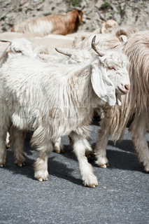 White kashmir pashmina goat from Indian highland farm in Ladakh going with herd
