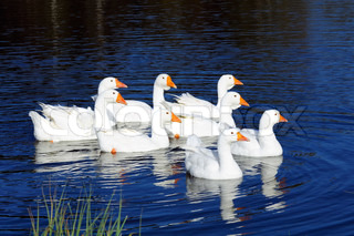 Gaggle of White Domestic Geese Swimming in Pond