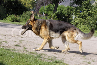 german shepherd with frisbee in his mouth