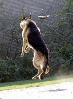 german shepherd jumping in the air trying to catch a frisbee