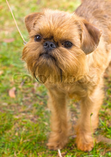 red dog Brussels Griffon breed on the green grass in the summer