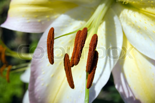 Golden rayed lily