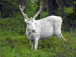 white reindeer in forest