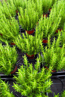 rosemary plants in basket