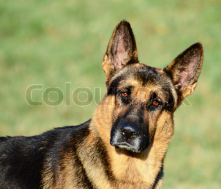 German Shepherd funny portrait
