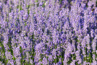 Lavender growing in summer garden closeup