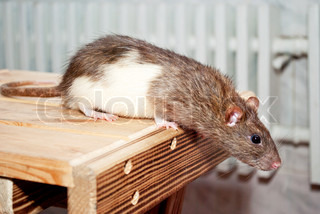 Rat tries to jump from the chair