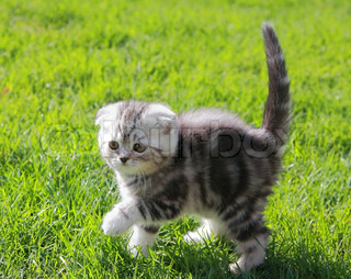 British kitten on grass holding tail up walking outdoors spring background