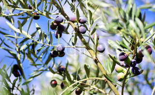 Ripe olives on tree