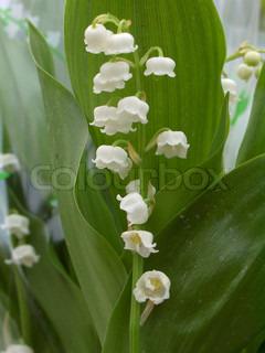 Billede af 'liljekonval, spire, Sæson'