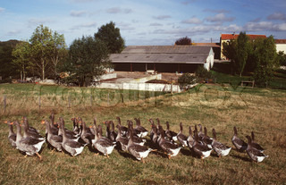 Image of 'geese, goose, farms'