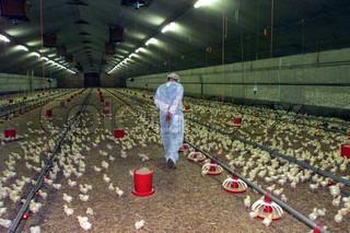 Billede af 'høns, kyllinger, produktion'
