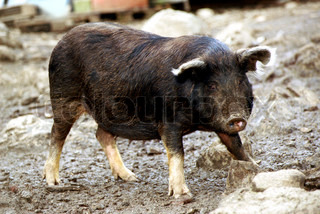 Image of 'pig, wild boar, zoological gardens'