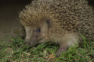 Image of 'outdoor, hedgehogs, closeup'