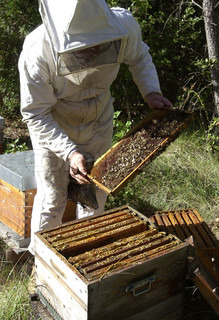 Bee keeper takes a frame out from a hive