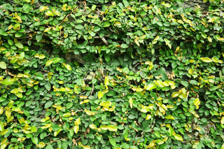 Green ivy plant on the wall
