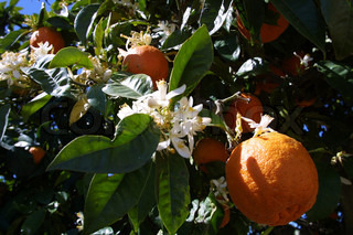 Close-up of oranges on trees