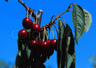 Low angle view of cherries against blue sky