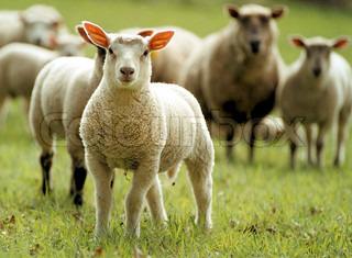 Billede af 'får, dyr, græs'