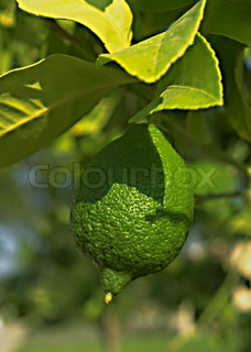 Close- up view of lime tree