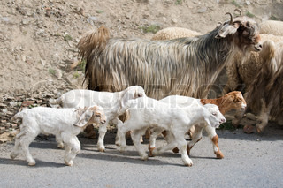 Kids goat and kashmir pashmina goats from Indian highland farm in Ladakh going with herd