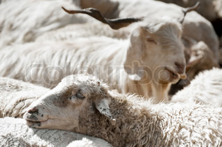 Sheep and white kashmir pashmina goat from Indian highland farm in Ladakh