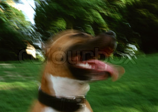 Image of 'pitbull, dog, angry'