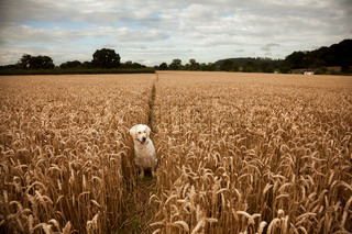 Dog between wheat along a public footpath in Somerset, UK