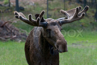 A moose in forest